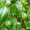 buah jambu biji mentah