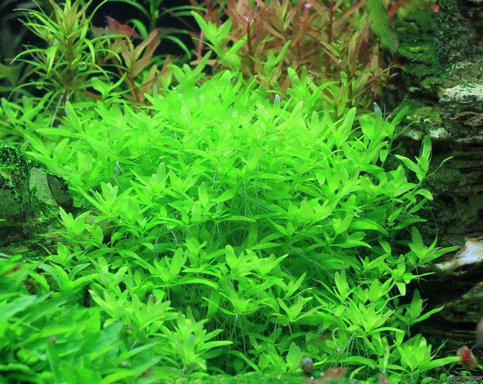 Повойничек трехтычинковый (Триандра) (Elatine triandra)