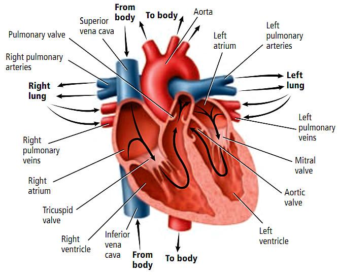 Sistem Transportasi (6) : Alat peredaran darah manusia 2