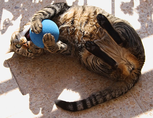 Goalkeeper cat