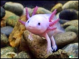 Salamander Axolotl
