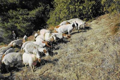 Nanny & Billy's goats