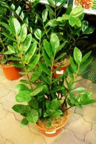 Zamiokulkas zamiolistny Zamioculcas zamiifolia