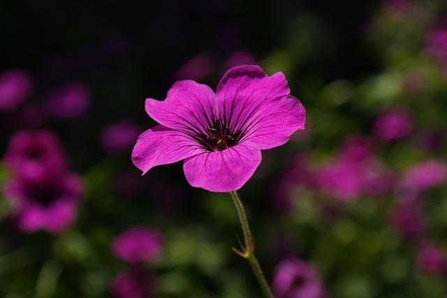hoa tím kỷ niệm