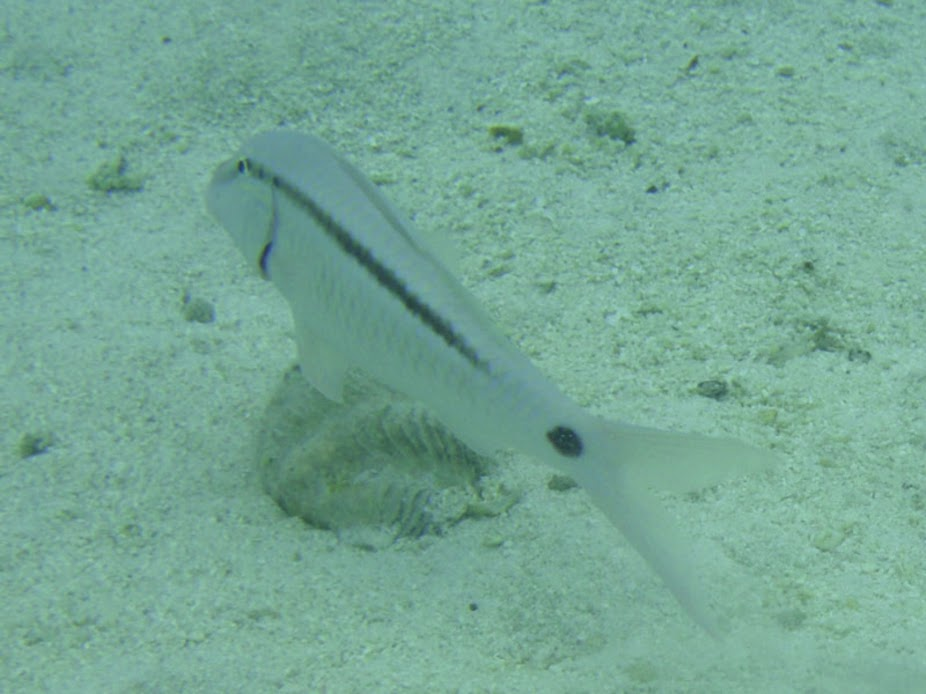 Parupeneus barberinus (Dash-and-dot Goatfish), Aitutaki.