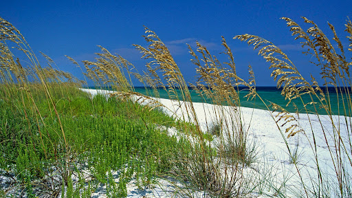 Sea Oats, Perdido Key Beach, Pensacola, Florida.jpg