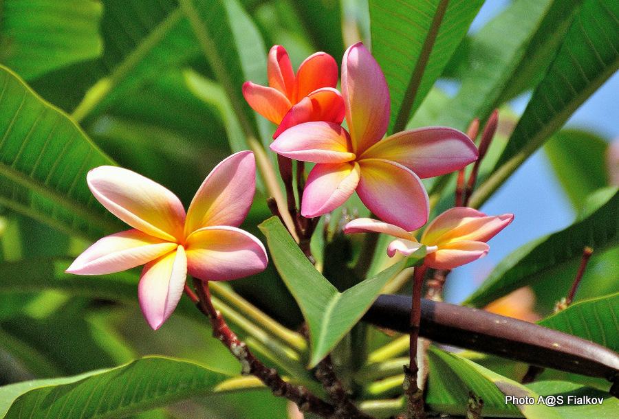 Плюмерия розовая. Сады Бахаи в Акко. Экскурсия в Акко. Гид в Израиле Светлана Фиалкова