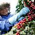 Nguồn cung khan hiếm Giá cà phê đang dần tăng mạnh...