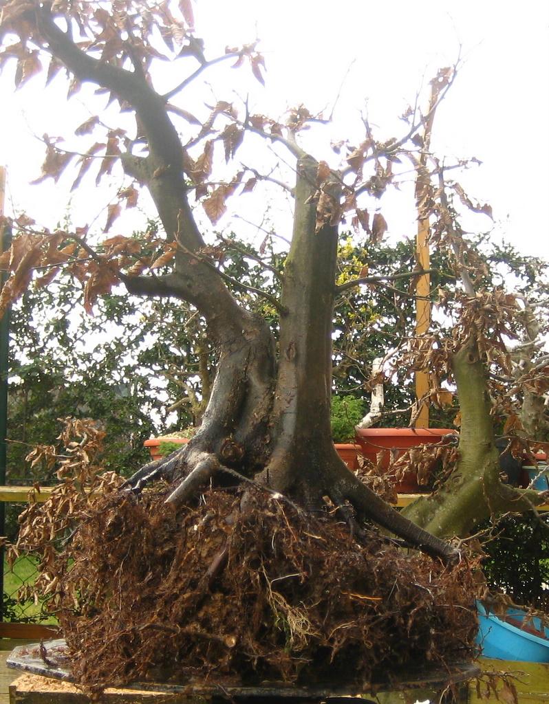 Carpinus betulus 3 repotting