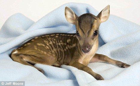 tiny deer 4