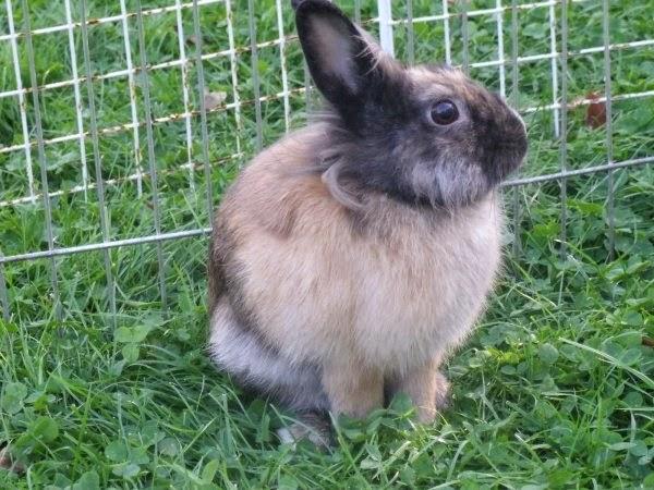 [adoptée]-Nala, lapine noire et marron, avec le bout du nez blanc Nala4-8c029