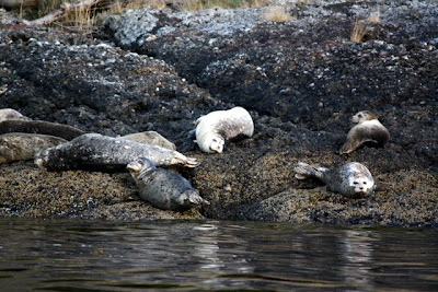 Seals in British Columbia Canada