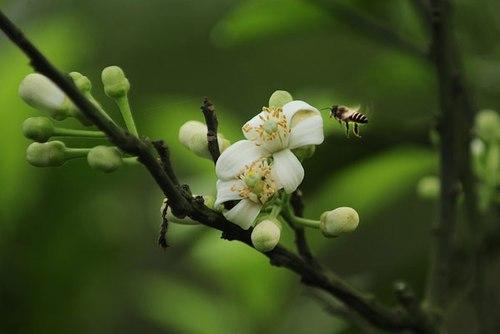 Ảnh hoa bưởi tháng 3
