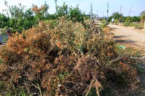 Hàng ngàn cây quất đến thời kỳ quả to vàng bỗng dưng chết hàng loạt.Theo ước tính của Hợp tác xã Dịch vụ nông nghiệp phường Tứ Liên, số lượng quất chết cũng lên tới 50 % diện tích trồng. Nhiều hộ quất chết đến quá nửa vườn.