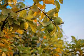 Guava - Sargodha Countryside