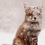 К чему снится рыжая лиса?