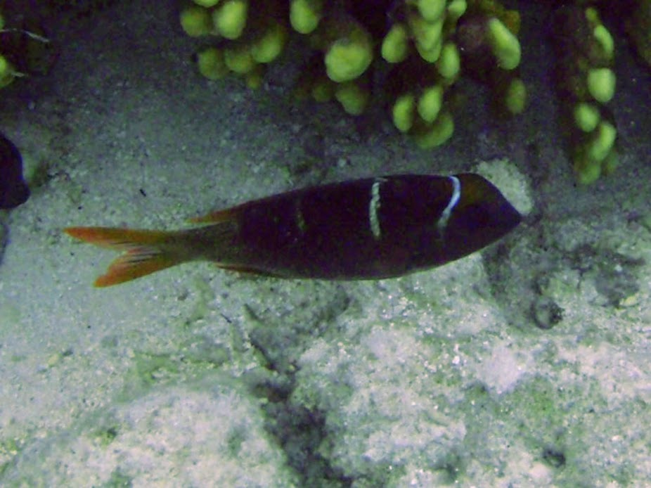 Monotaxis grandoculis (Juv. Hump-nose Big-eye Bream), Rarotonga.