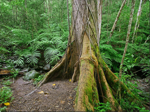 Mossy Roots, Along the Manoa Falls Trail, Oahu.jpg