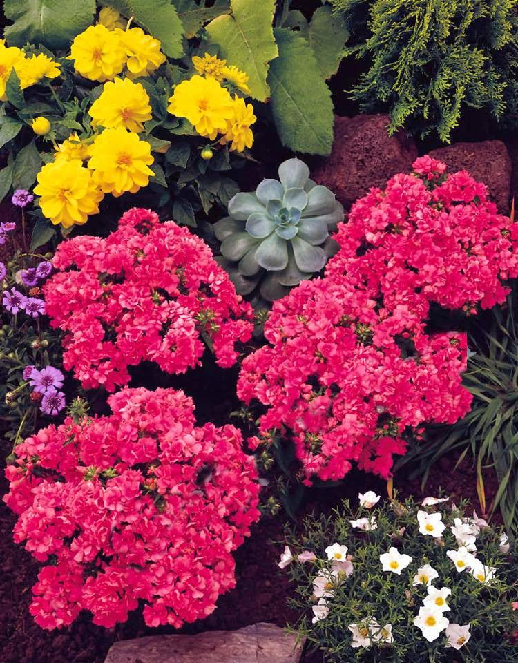 Hoa thanh trúc kép 1
