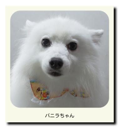 日本スピッツのバニラちゃん