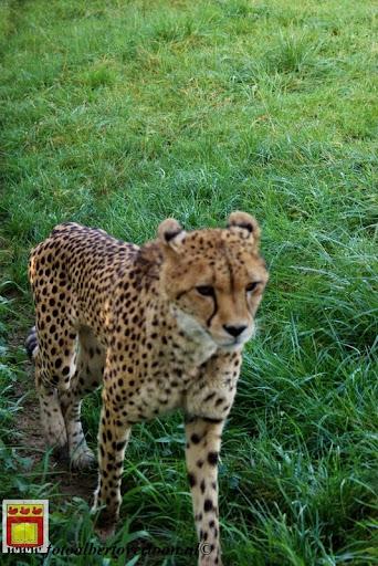 cheetahs vieren hun eerste verjaardag Zoo Parc Overloon (10) 11-11-2012.JPG