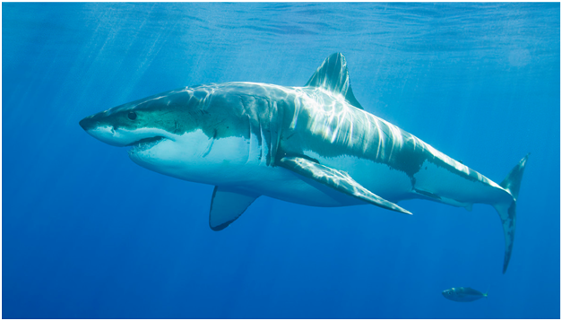Shark Facts, Shark Amazing Facts