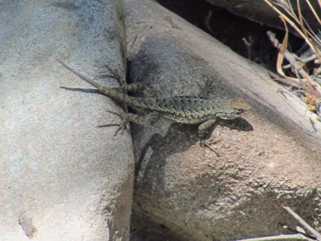 lizard bridging a couple rocks