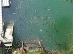 0110ラーンチターイムに群がるお魚ちゃん(ほとんど鯉) 2011-05-22T15:15:46.000Z
