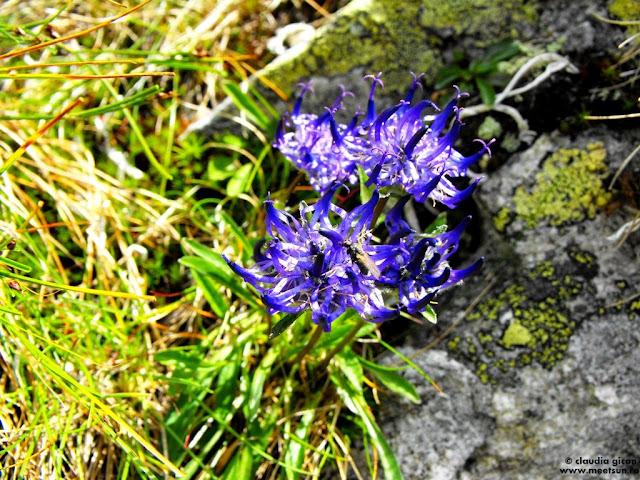 flori de munte violet, mov: Bănică, Cărbuni (Phyteuma confusum)