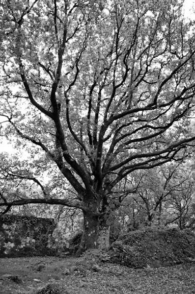 Un gran y antiguo árbol en blanco y negro
