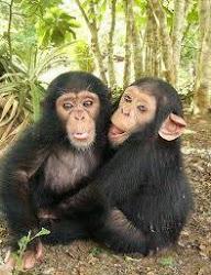 Chimpanzee - Tinh tinh Chimpanzee