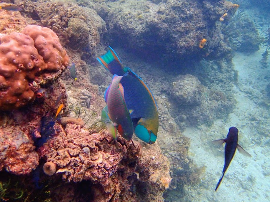 Unidentified Parrotfish, Miniloc Island Resort reef, Palawan, Philippines.