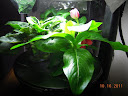3 impatiens and toy choi (3 week in AG - 5 weeks from cutting) - vinca and one impatiens blooming