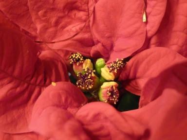 Wilczomlecz nadobny - Euphorbia pulcherrima