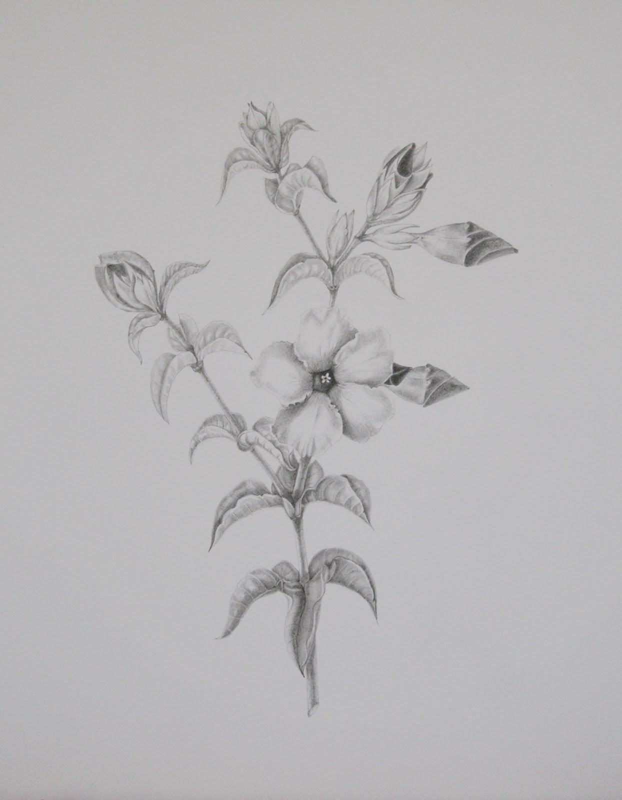 Hawaiian Flower Drawings In Pencil I chose a hibiscus from our