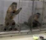 القرود تفضل العنب على الخيار
