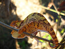 A nice chameleon I found by the river.