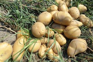Les pommes de terre produites par la Ferme «Kitoko Food» à Maluku (Kinshasa). Radio Okapi/Ph Innocent Olenga Lumbahee El Tayese.