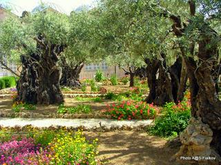 Масличная гора. Гефсемания. Гефсиманский сад. Обзорная экскурсия Иерусалим трех религий. Гид в Иерусалиме Светлана Фиалкова.