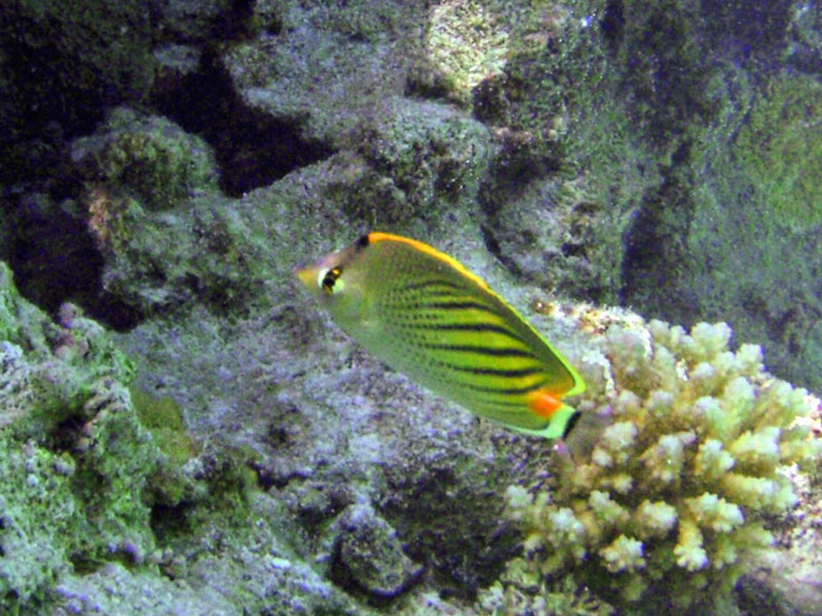 Chaetodon pelewensis (Dot-and-Dash Butterflyfish), Aitutaki.