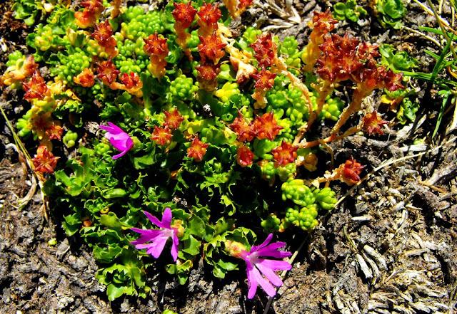 flori de munte roz, Ochiul Găinii (Primula minima) cea roz şi Saxifraga aizoides