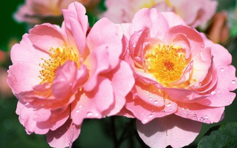 английская роза HERO