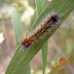 Caterpillar (13654)