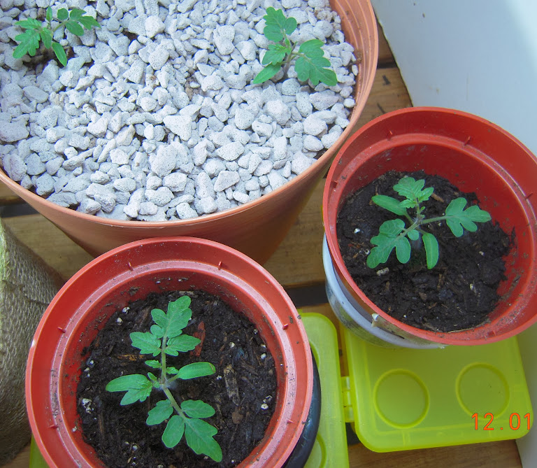 2 week dwarf tomatoes, hydroponic vs. potting mix (first 2 weeks started in AG Pro100)