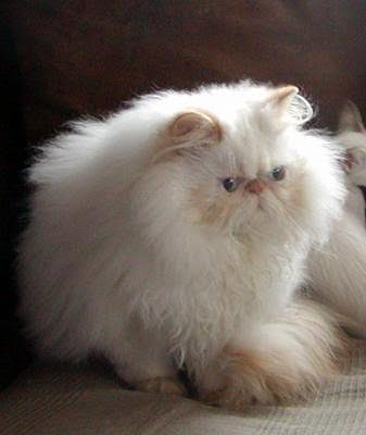 Pictures of Persian Cats | PoC