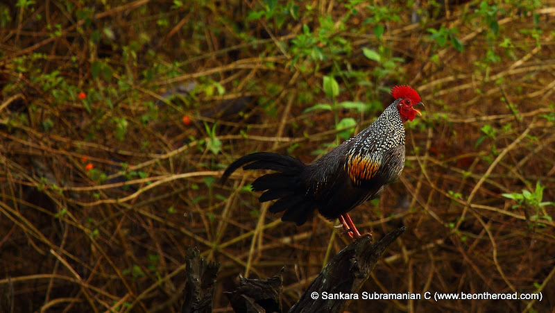 Grey Junglefowl - one early morning at Nagarhole National Park - 3
