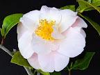 淡桃色 外弁は色濃い 八重〜牡丹咲き ユキ芯 中輪