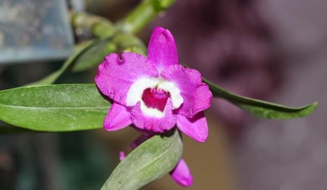 продам орхидейки IMG_3417