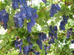 Конец сентября - начало октября начинается сбор винограда
