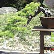 29 Pinus morissonicola Hayata.JPG